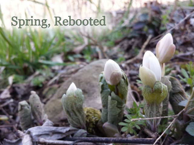 Spring, Rebooted: Garden Bloggers' Bloom Day April 2016