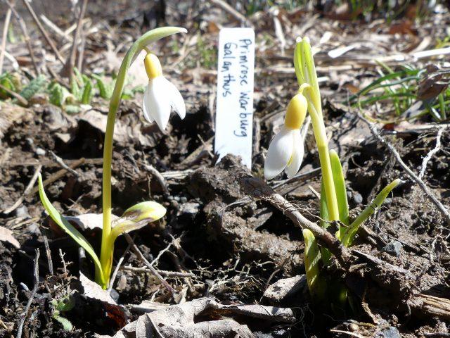 Galanthus Primrose Warburg