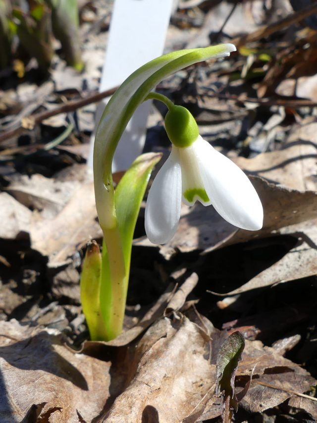 Galanthus plicatus Straffan
