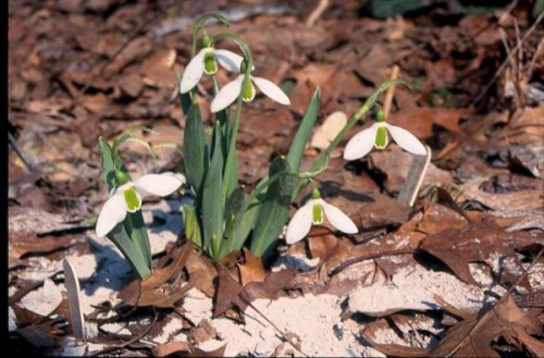 Galanthus elwesii 'Fenstead End'