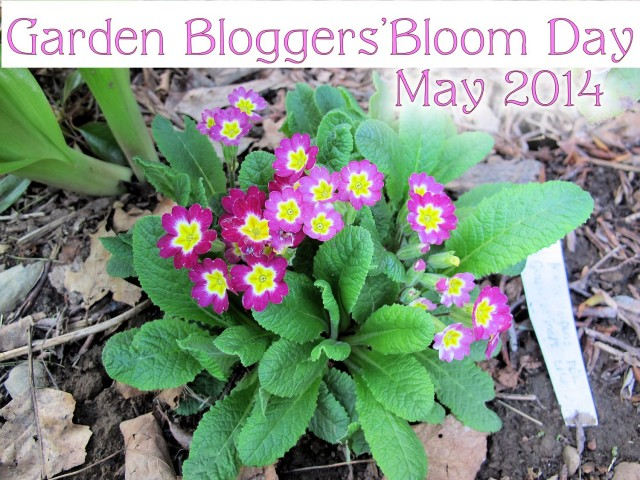 primroses Garden Bloggers' Bloom Day May 2014