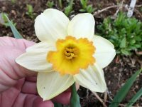 Glaston daffodil