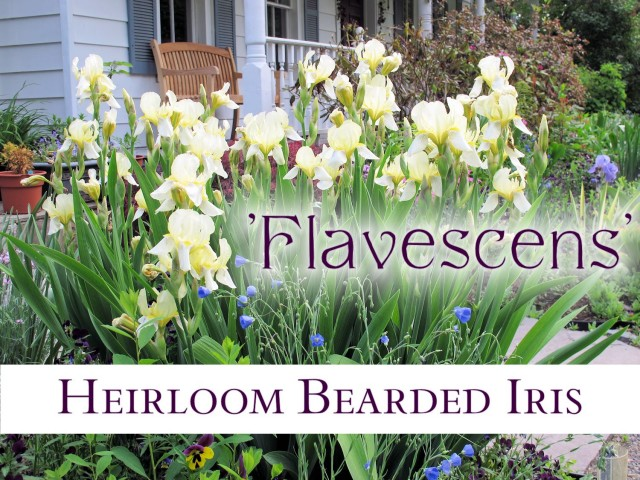 Heirloom bearded iris Flavescens