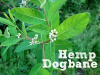 Hemp dogbane featured image