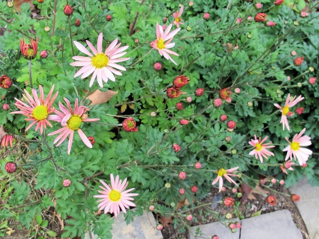Hillside Sheffield pink chrysanthemum