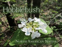 Hobblebush featured image