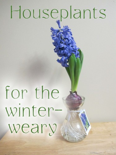A forced hyacinth brings fragrance and color to the winter-weary gardener
