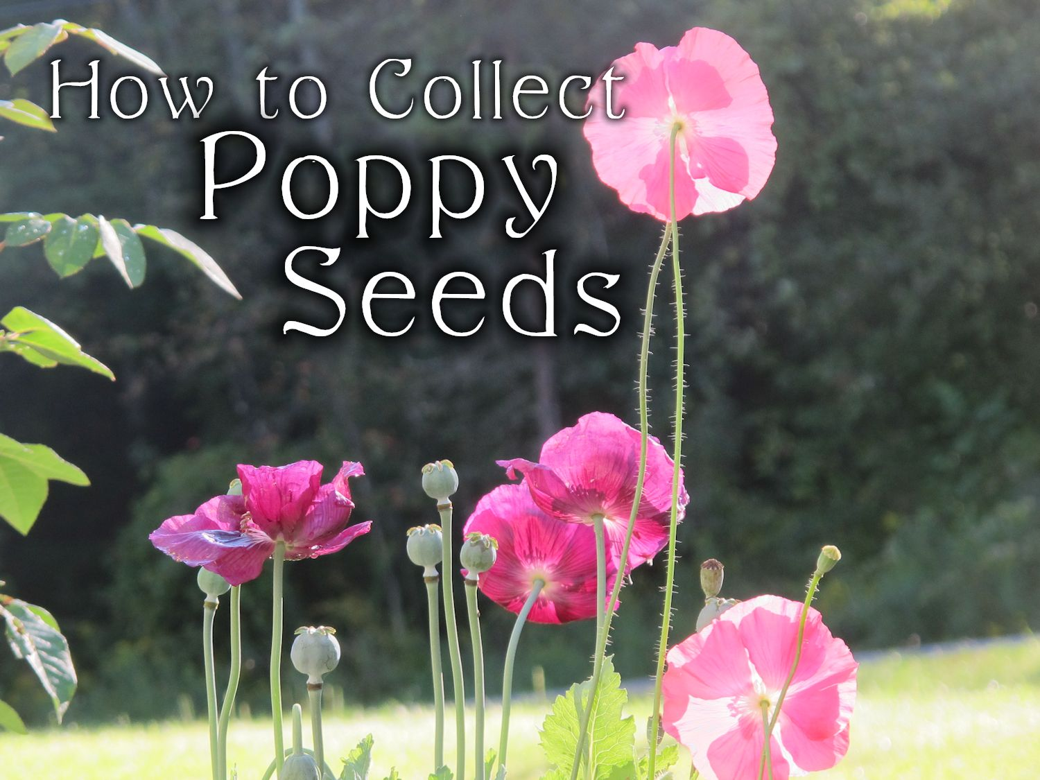 Collecting Poppy Seeds Fall Gardening Chores