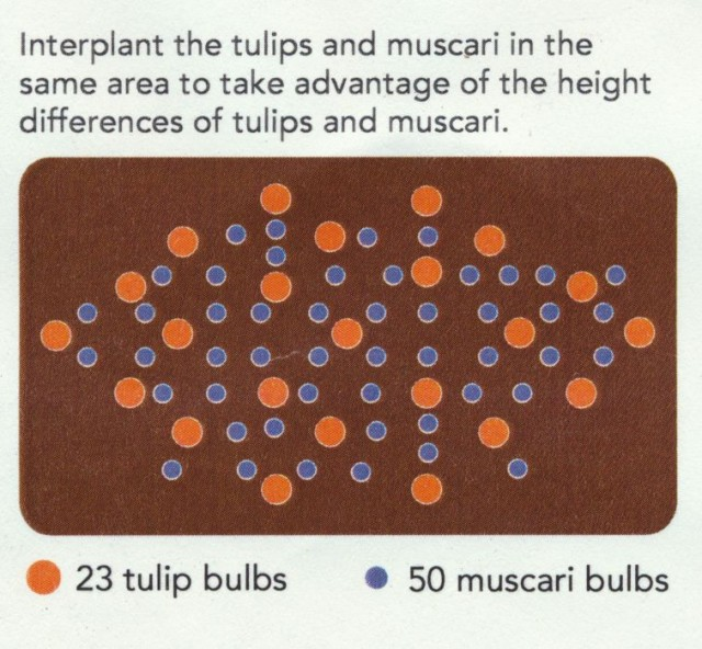 Interplanting pattern for tulips and muscari