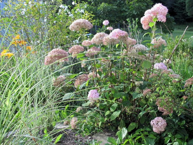 pink Invincibelle Spirit hydrangea thrives in cold climates