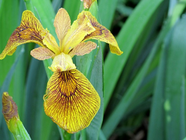 Berlin Tiger iris from coldclimategardening.com