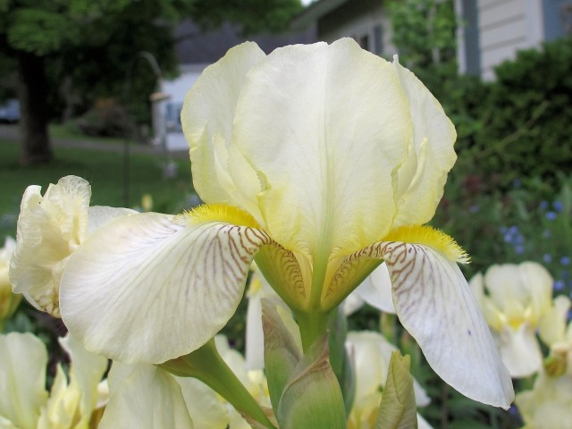 Close-up of hardy heirloom Flavescens iris