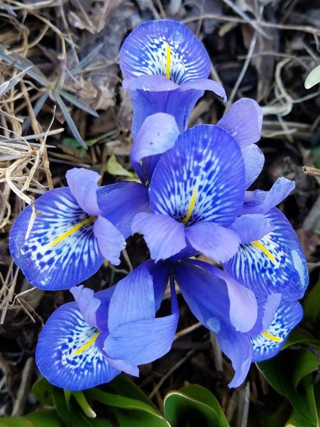 Iris Lady Beatrix Stanley