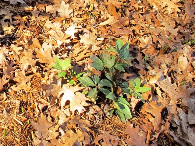 Ivory Prince hellebore foliage