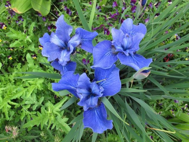 True-blue Jay Bird Siberian iris