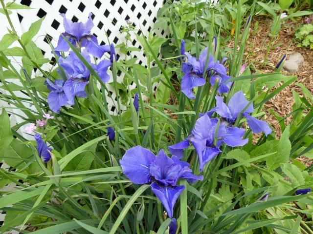 Jaybird Siberian iris