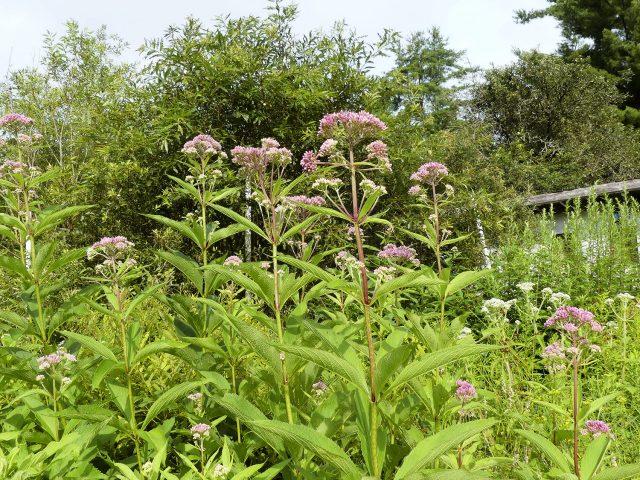 Joe Pye weed Eutrochium sp.