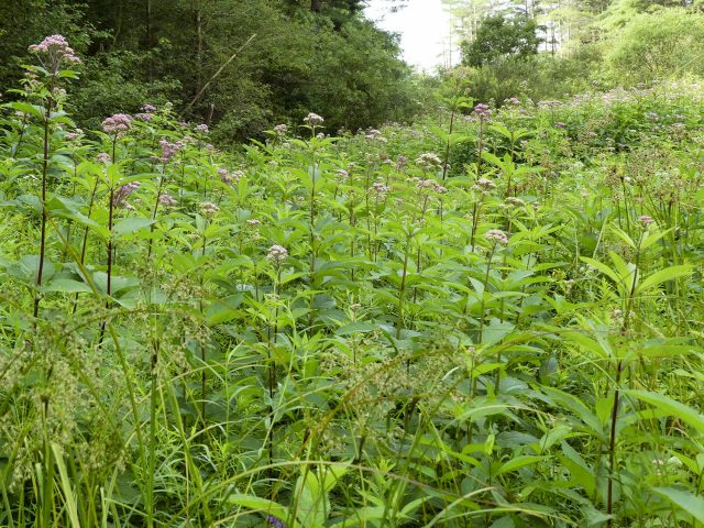Joe Pye weed Eutrochium