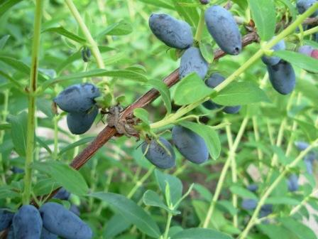 edible blue honeysuckle