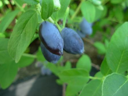 Edible Blue Honeysuckle Berries