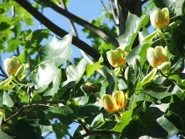 Tulip tree flowering