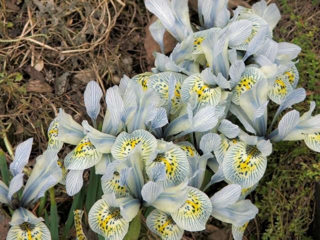 Katherine Hodgkin iris blooms in early spring