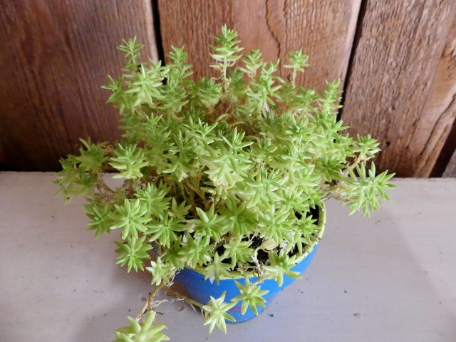 Lemon Coral sedum