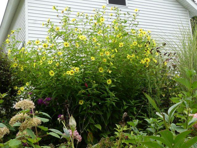 Lemon Queen helianthus