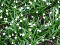 Leucojum vernum, a spring blooming bulb