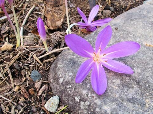Lilac Wonder colchicum
