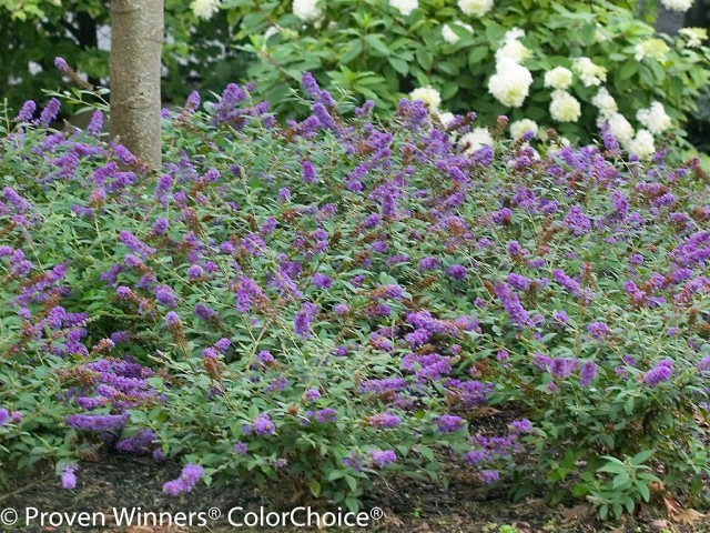 Lo & Behold Blue Chip buddleia