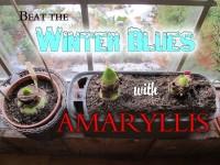 Longfield Double Amaryllis featured image