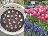 Longfield Tulips and Muscari featured image