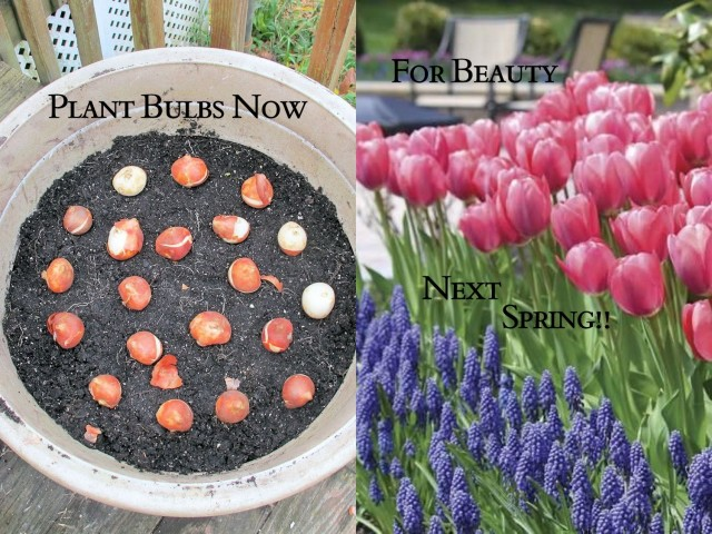 How to plant spring blooming bulbs in a pot mightylinksfo Choice Image