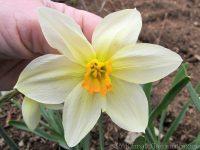 Lucifer daffodil