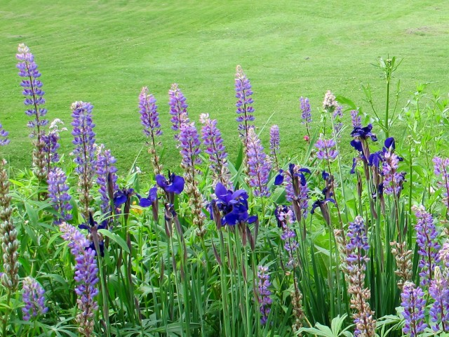 Lupines and Siberian iris