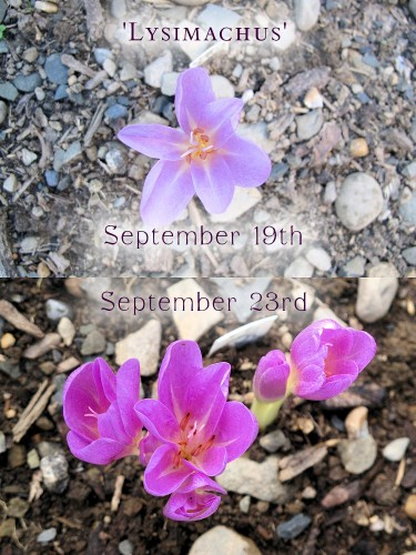 Lysimachus colchicum five days apart