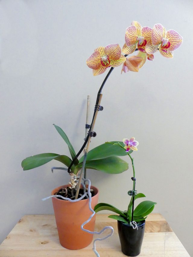 Mama and baby orchid