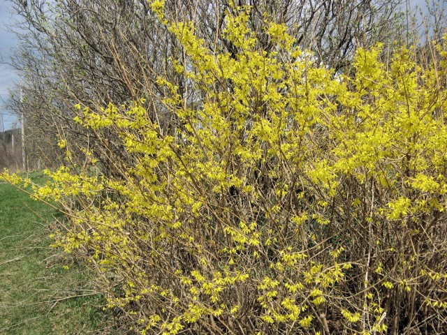 Meadowlark forsythia, bud-hardy to -35F