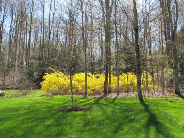Meadowlark forsythia is bud-hardy to -35F.