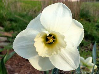 Misty Glen daffodil