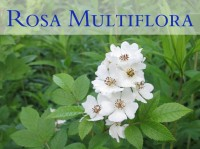 Multiflora rose featured image