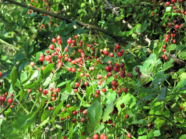 Multiflora rose hips - food for birds and good in dried arrangements