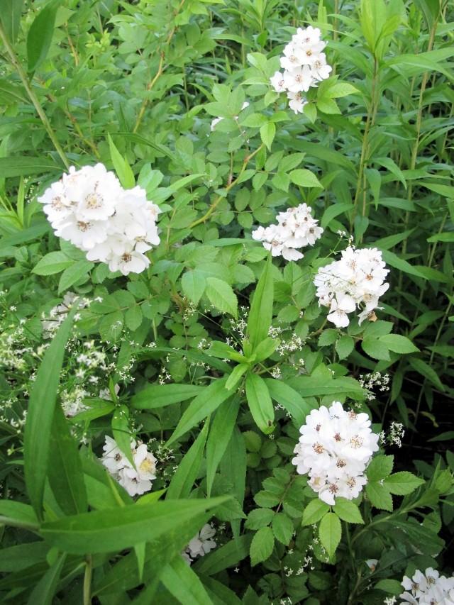 Multiflora rose invasive but fragrant