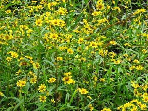 Nodding bur marigold native plant Bidens cernua