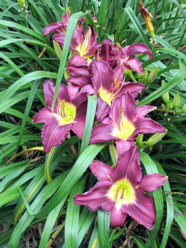 favorite purple daylily