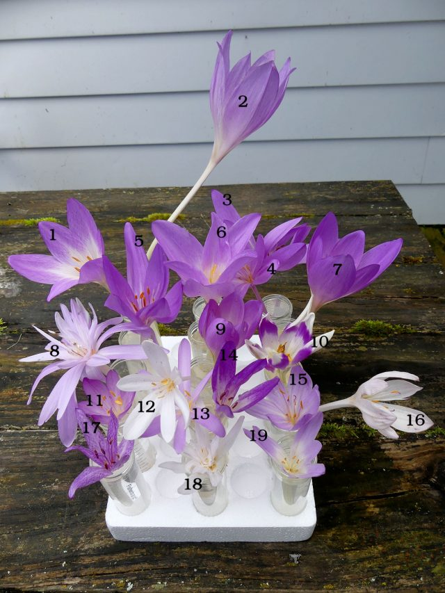 19 different kinds of colchicums