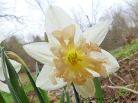 Palmares daffodil