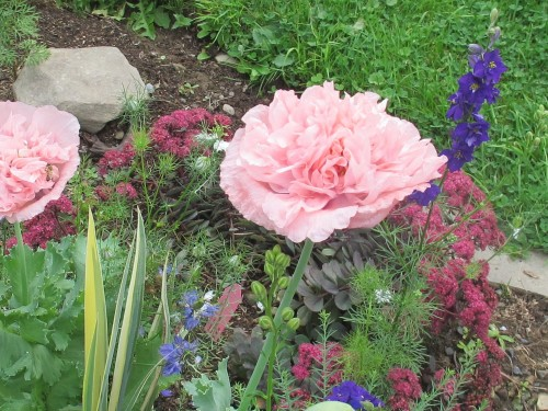 Double pink peony poppy Papaver somniferum