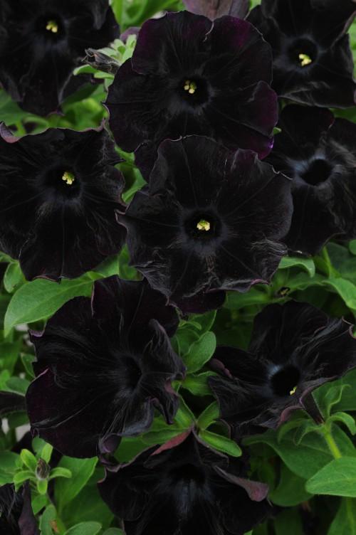 Petunia-BlackVelvet1-Ball